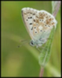Polyommatus-coridon-chalkhill-blue | PTKbutterflies