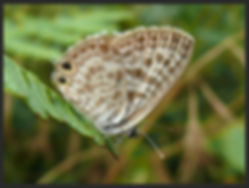Leptotes-pirithous-langs-short-tailed-blue- | PTKbutterflies