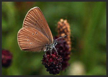Phengaris-nausithous-dusky-large-blue | PTKbutterflies
