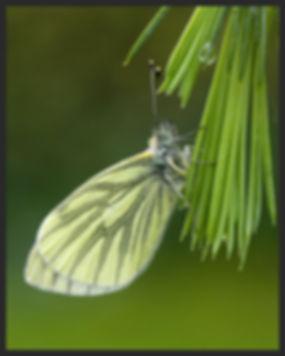 Pieris-napi-green-veined-white | PTKbutterflies