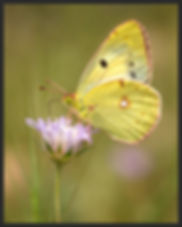 Colias-crocea-clouded-yellow | PTKbutterflies