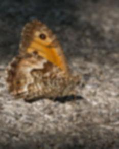 Hipparchia-neapolitana-Italian-Grayling   PTKbutterflies