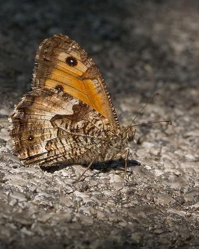 Hipparchia-neapolitana-Italian-Grayling | PTKbutterflies