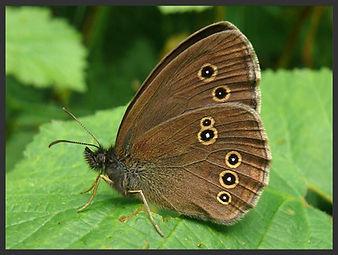 Aphantopus-hyperantus-the-ringlet | PTKbutterflies