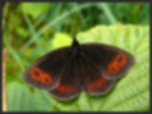 Erebia-aethiops-scotch-argus | PTKbutterflies