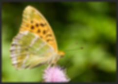 Argynnis-paphia-silver-washed-fritillary | PTKbutterflies