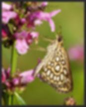 Heteropterus-morpheus-large-chequered-skipper | PTKbutterflies