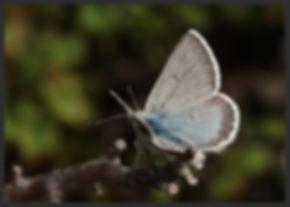 Plebejus-glandon-glandon-blue | PTKbutterflies