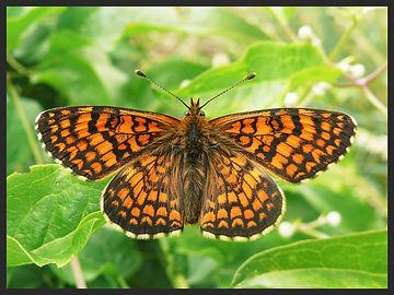 Melitaea-deione-provencal-fritillary   PTKbutterflies