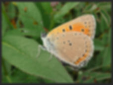 Lycaena-hippothoe-purple-edged-copper | PTKbutterflies