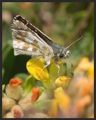 Pyrgus-alveus--large-grizzled-skipper | PTKbutterflies