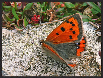 Lycaena-phlaeas-small-copper | PTKbutterflies