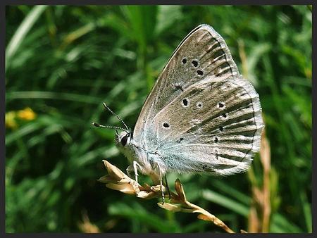 Polyommatus-daphnis-meleagers-blue-cvpr | PTKbutterflies