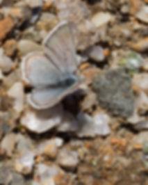 Agriades-aquilo-Arctic-blue | PTKbutterflies