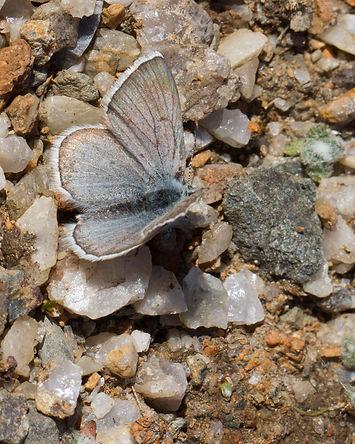 Agriades-aquilo-Arctic-blue   PTKbutterflies