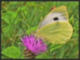 Pieris-brassicae-large-whte | PTKbutterflies