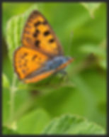 Lycaena-alciphron-purple-shot-copper | PTKbutterflies