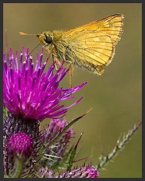 Ochlodes-sylvanus-large-skipper | PTKbutterflies