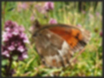 Erebia-euryale-large-ringlet | PTKbutterflies