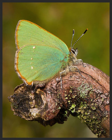 Callophrys-rubi-green-hairstreak | PTKbutterflies