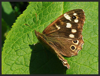 Pararge-aegeria-speckled-wood-butterfly-   PTKbutterflies