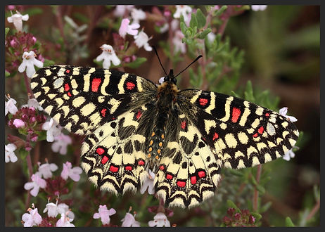 Zerynthia-rumina-spanish-festoon | PTKbutterflies