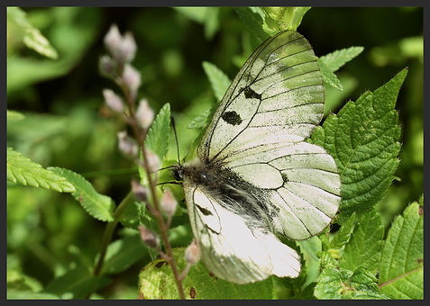Parnassius-mnemosyne-clouded-apollo   PTKbutterflies