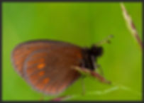Erebia-eriphyle-eriphyle-ringlet | PTKbutterflies