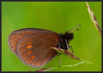 Erebia-eriphyle-eriphyle-ringlet   PTKbutterflies