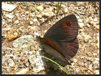 Erebia-cassioides-common-brassy-ringlet- | PTKbutterflies