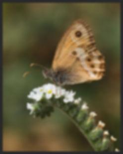 Coenonympha-dorus-dusky-heath | PTKbutterflies