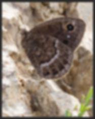 Satyrus-ferula-great-sooty-satyr | PTKbutterflies