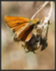 Thymelicus-hyrax-levantine-skipper- | PTKbutterflies