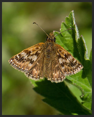 Erynnis-tages-dingy-skipper | PTKbutterflies