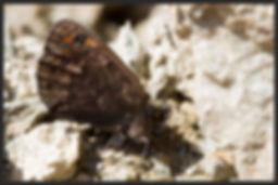 Erebia-gorge-silky-ringlet-butterfly | PTKbutterflies