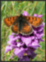 Melitaea-varia-grisons-fritillary | PTKbutterflies
