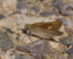 Gegenes-nostrodamus-mediterranean-skipper | PTKbutterflies