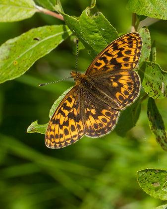 Boloria-thore-thors-fritillary | PTKbutterflies