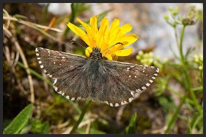Pyrgus-warrenensis-warrens-skipper- | PTKbutterflies
