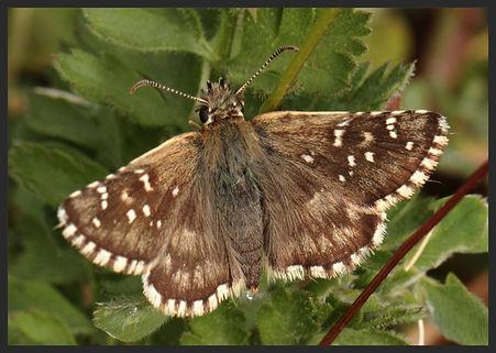 Pyrgus-onopordi--rosy-grizzled-skipper | PTKbutterflies