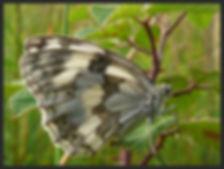 Melanargia-lachesis-iberian-marbled-whit | PTKbutterflies