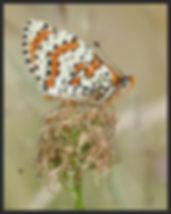 Melitaea-didyma-spotted-fritillary | PTKbutterflies