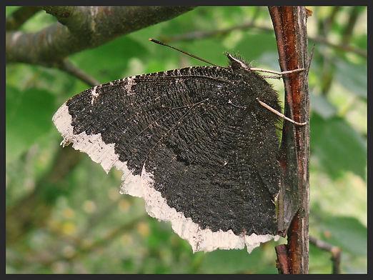 Nymphalis-antiopa-camberwell-beauty | PTKbutterflies