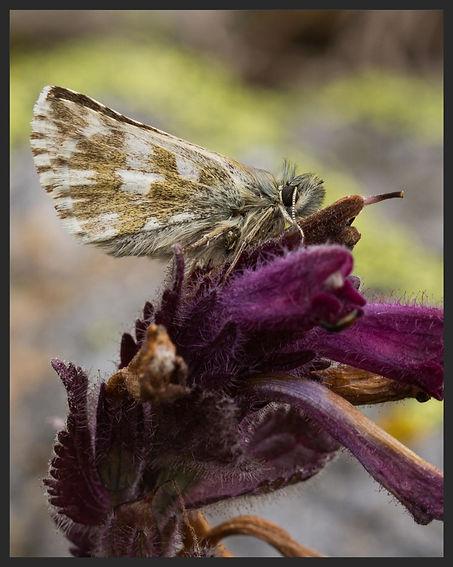 Pyrgus-cacaliae--dusky-grizzled-skipper | PTKbutterflies