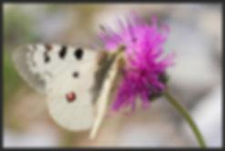 Parnassius-phoebus-small-apollo | PTKbutterflies