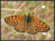 Melitaea-cinxia-glanville-fritillary | PTKbutterflies