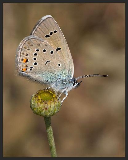 Polyommatus-semiargus-mazarine-blue | PTKbutterflies