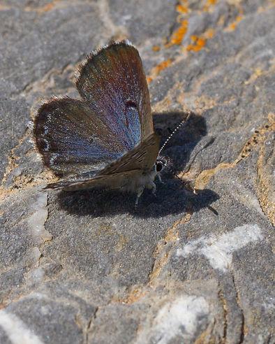 pseudophilotes-abencerragus-false-baton-blue | PTKbutterflies