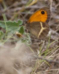 Pyronia-bathseba-spanish-gatekeeper | PTKbutterflies.jpg