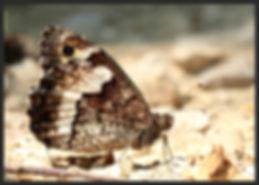 Hipparchia-fagi-woodland-grayling | PTKbutterflies